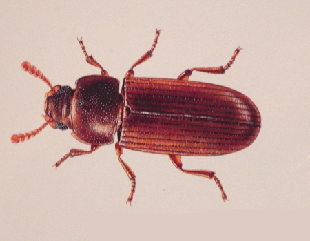 Flour Beetle. Insect and Rodent Identification   Pest Control Services   Wells